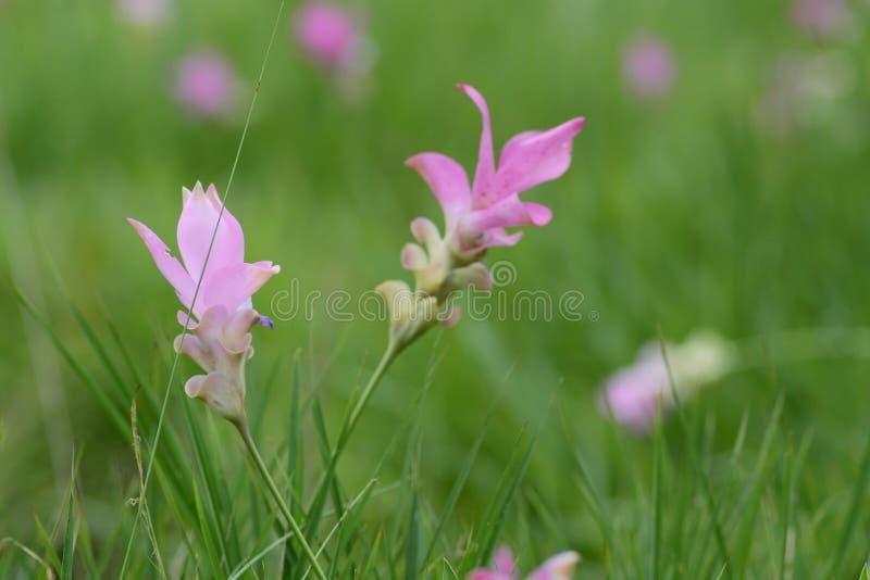 Siam-Tulpen blüht das Blühen in der Wiese als Hintergrund lizenzfreies stockbild