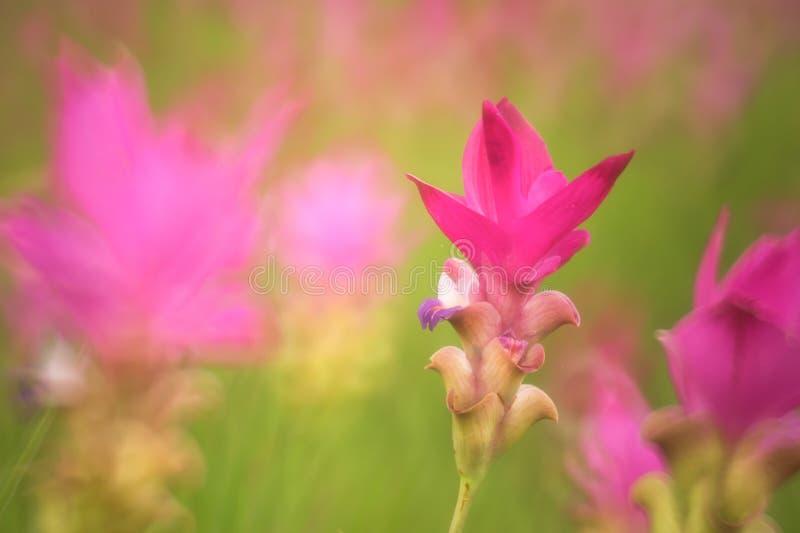 Siam-Tulpen, die im Dschungel bei Sai Thong National Park, C blühen lizenzfreies stockfoto