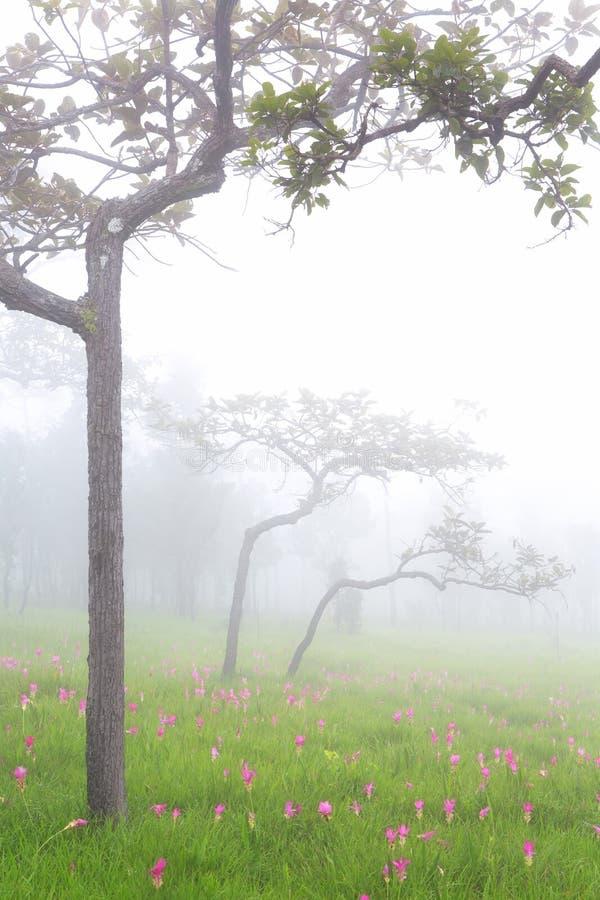 Siam-Tulpen, die im Dschungel bei Sai Thong National Park, C blühen lizenzfreie stockfotografie