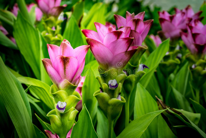 Siam-Tulpenblumen lizenzfreie stockfotografie