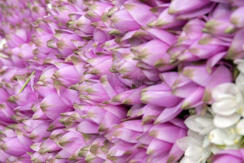 Siam-Tulpenblumenhintergrund lizenzfreie stockbilder