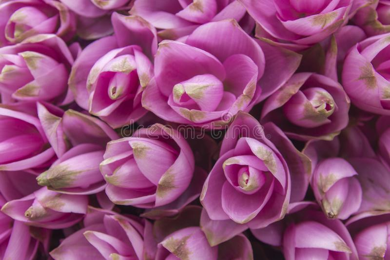 Siam-Tulpenblumenhintergrund lizenzfreies stockbild