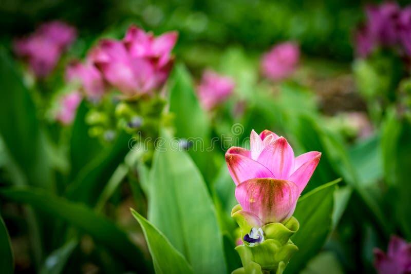 Siam-Tulpenrosablumen stockfotos