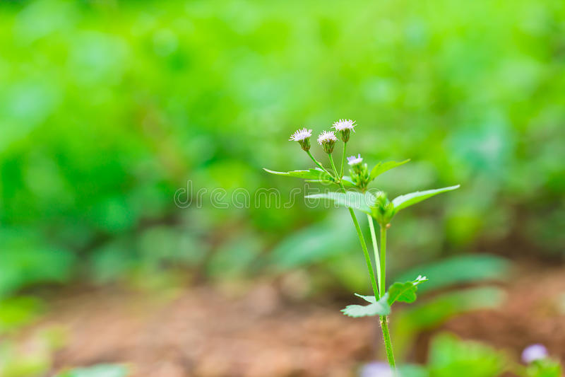 Siam weed. On nature background stock photography