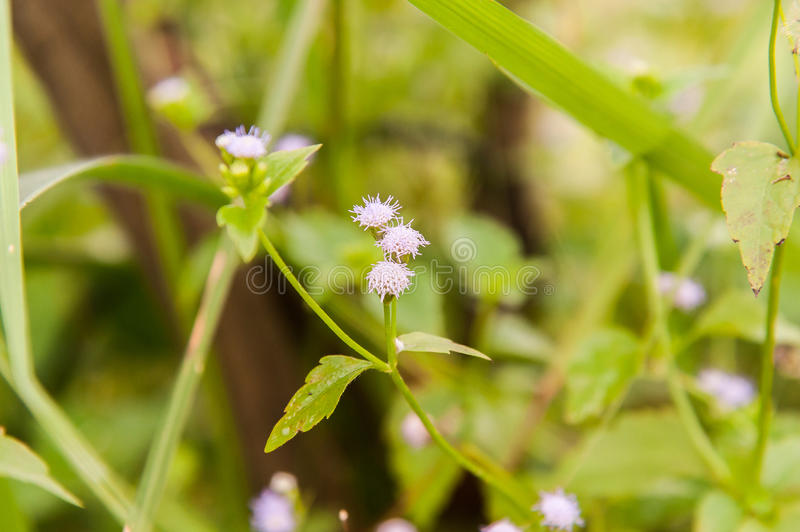 Siam weed. Flowers in a green meadow, the background is ominous from the blur of the lens stock photos