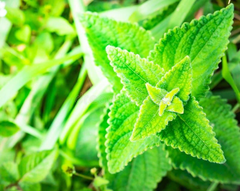Siam weed oder Bitter Bush, Kräuterpflanze, die oben auf den Bergen in Phu Soi Dao, Uttaradit, Thailand aufwuchsen lizenzfreie stockfotografie
