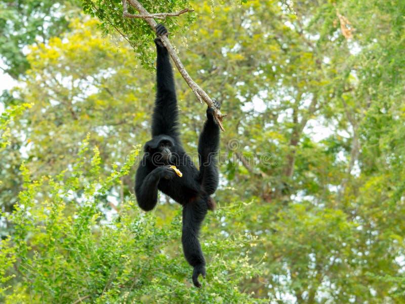 Siamang长臂猿摇摆和吊在树 免版税库存图片
