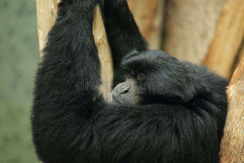 Download Siamang imagem de stock. Imagem de nave, macaco, mamífero - 26501193