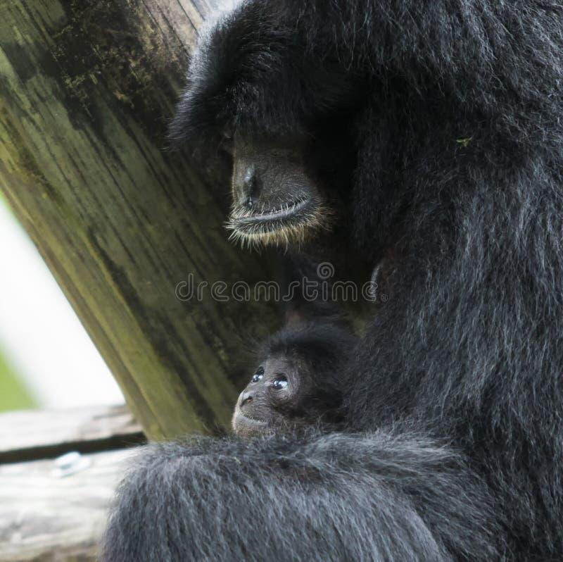Siamang-Affe mit Babyaffen stockfoto
