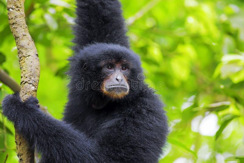 Siamang Gibbon fotos de stock