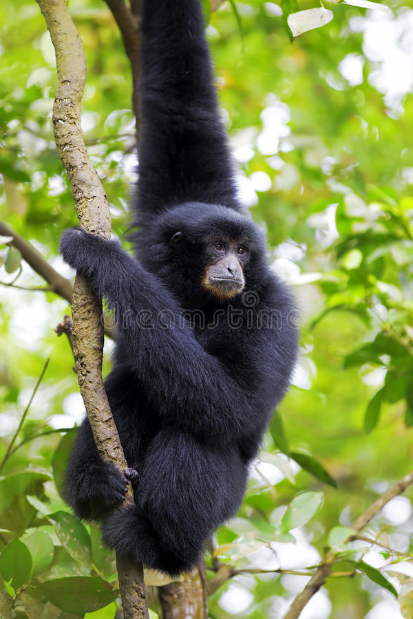 Siamang Gibbon fotos de stock