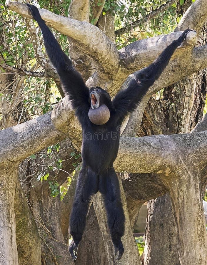 Siamang Gibbon, der heraus hängt lizenzfreies stockfoto