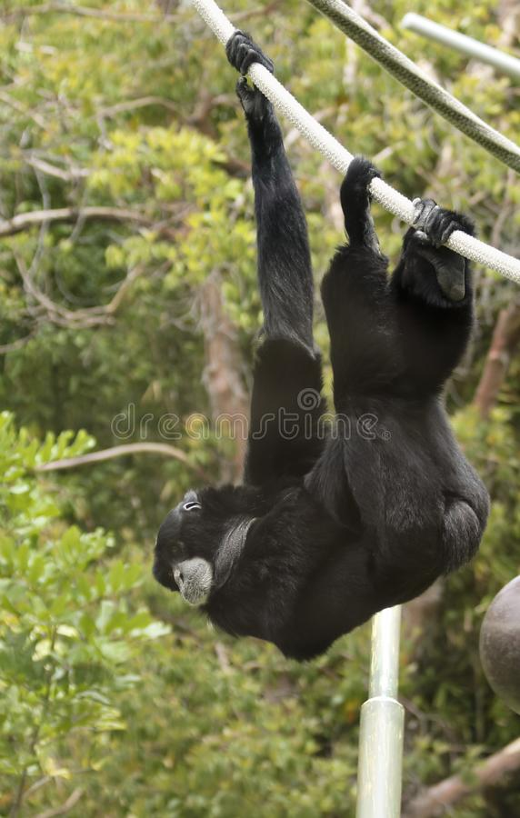 A Siamang Gibbon Hangs from a Rope. A Black Siamang Gibbon Hangs from a Rope royalty free stock images