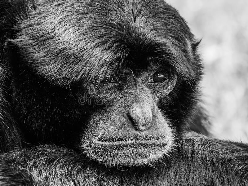 Siamang Gibbon Noir-poilu photos stock
