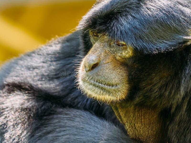 Siamang Gibbon Noir-poilu photo libre de droits