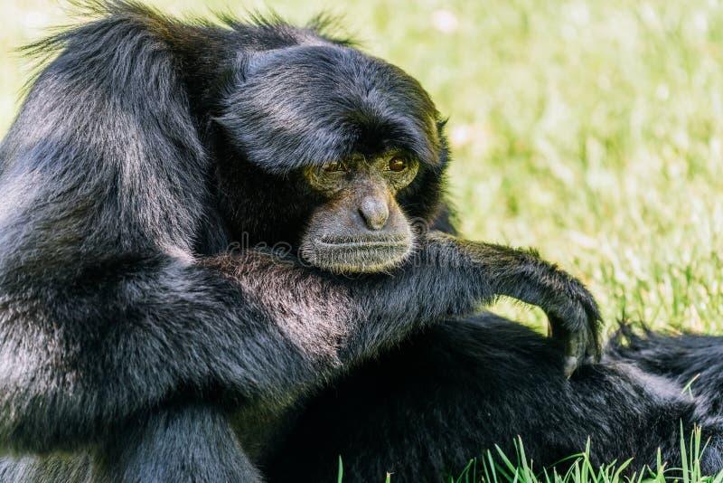 Siamang Gibbon Noir-poilu image libre de droits