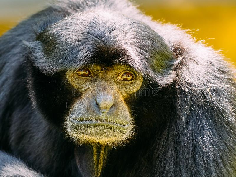 Siamang Gibbon Noir-poilu image stock