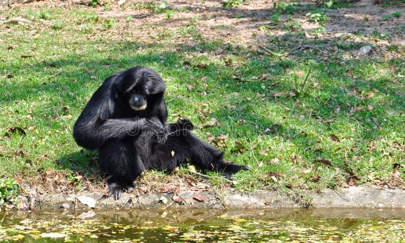 Siamang, gibbon poilu de noir image libre de droits