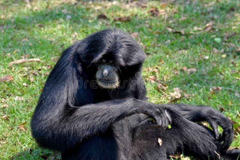 Siamang, gibbon poilu de noir images libres de droits
