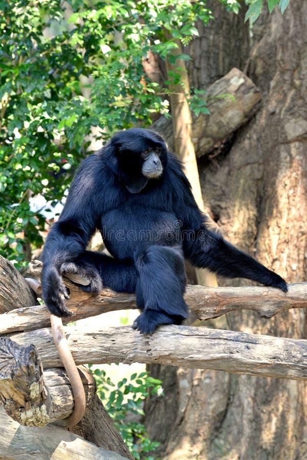 Siamang, gibbon poilu de noir photographie stock