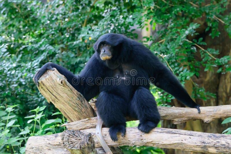 Siamang, gibbon poilu de noir photos libres de droits