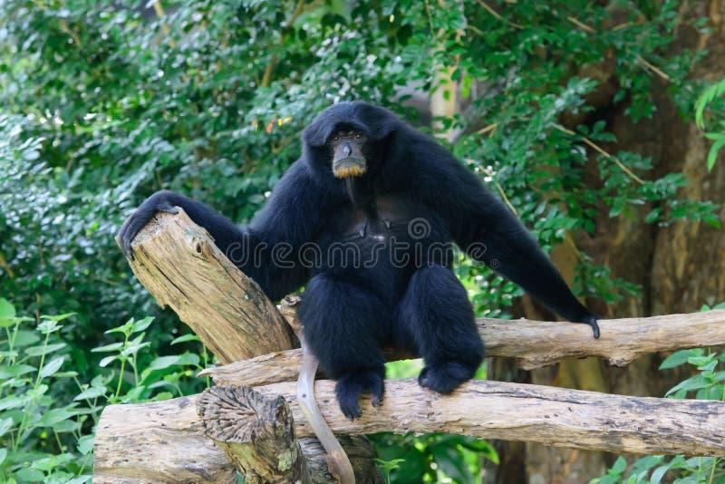 Siamang, gibbon poilu de noir photo libre de droits