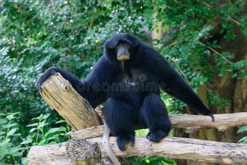 Siamang, gibbon poilu de noir photographie stock libre de droits