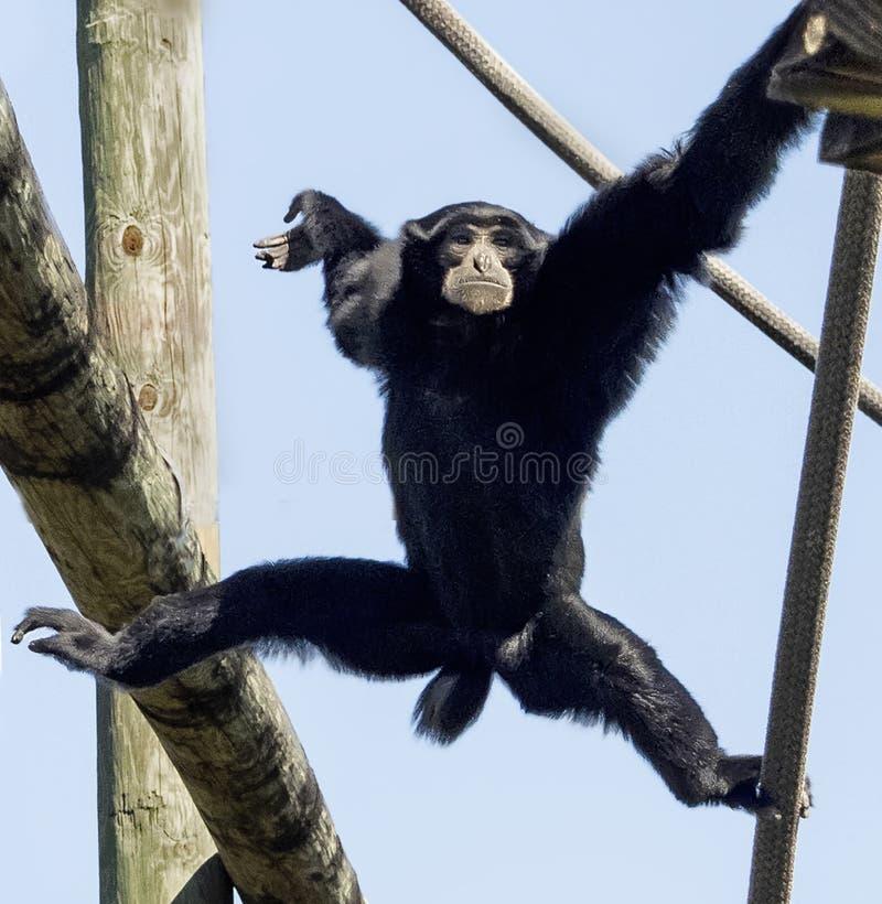 Siamang Gibbon przy zoo Tampa przy Lowry parkiem fotografia stock