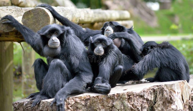 Siamang Gibbon rodziny relaksować obrazy stock