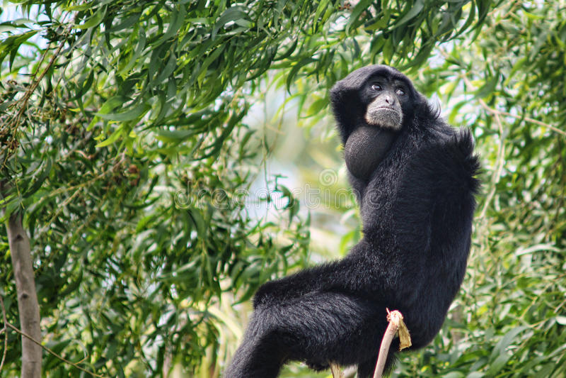 Siamang Gibbon (Symphalangus Syndactilus) fotografie stock