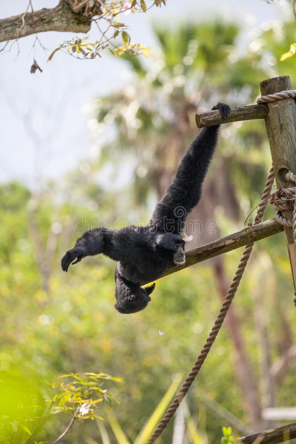 Siamang gibbon Symphalangus syndactylus. Swings from a tree and uses its loud voice royalty free stock photos
