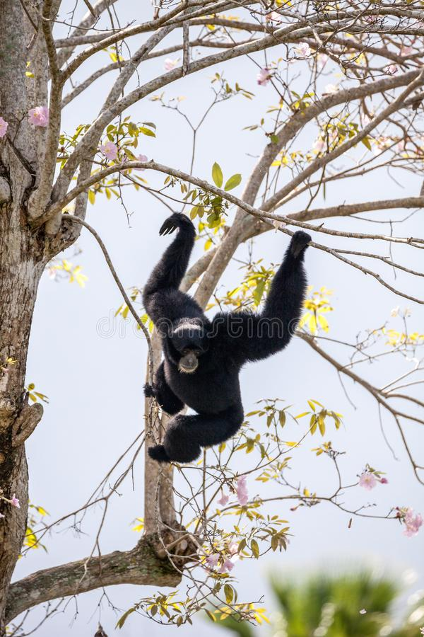 Siamang gibbon Symphalangus syndactylus. Swings from a tree and uses its loud voice stock photos
