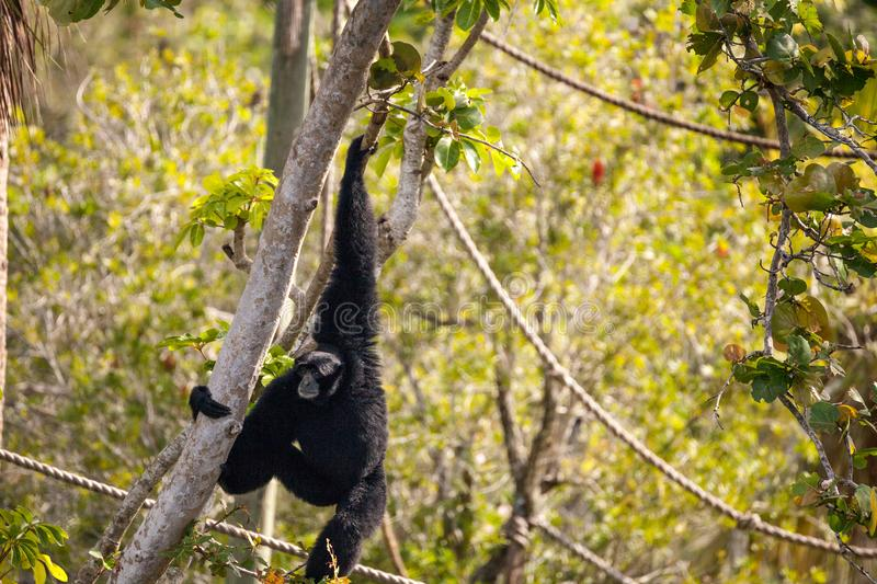 Siamang gibbon Symphalangus syndactylus. Swings from a tree and uses its loud voice stock images