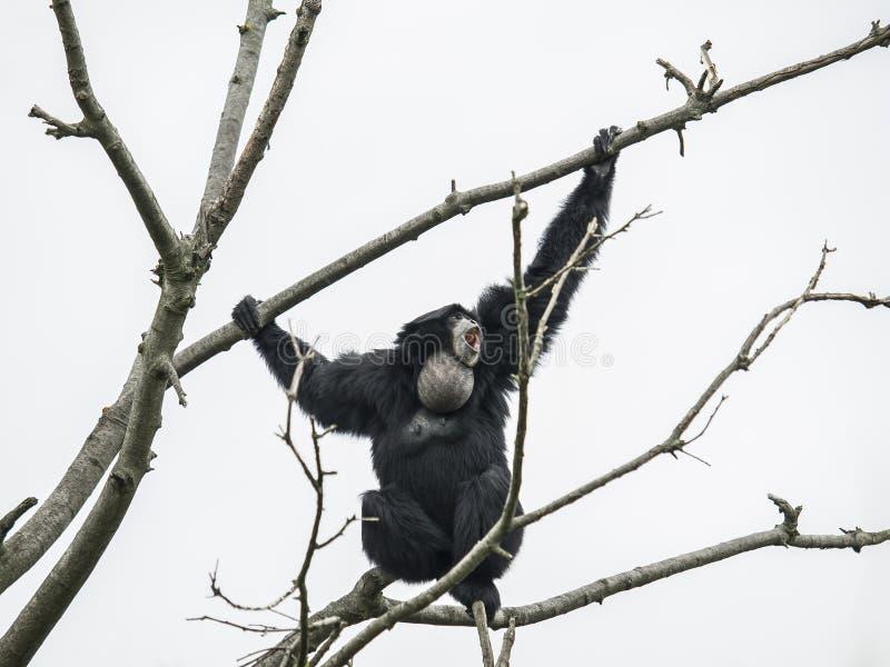 Siamang gibbon on the tree. In agressive attitude stock photos