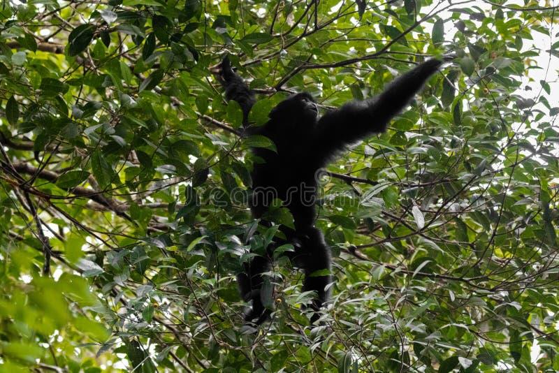 Siamang, le plus grand gibbon avec les fourrures noires atteignant pour la baie t photographie stock libre de droits