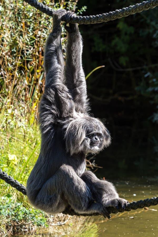 Siamang, syndactylus de Symphalangus est un gibbon noir-poilu arborescent photo libre de droits