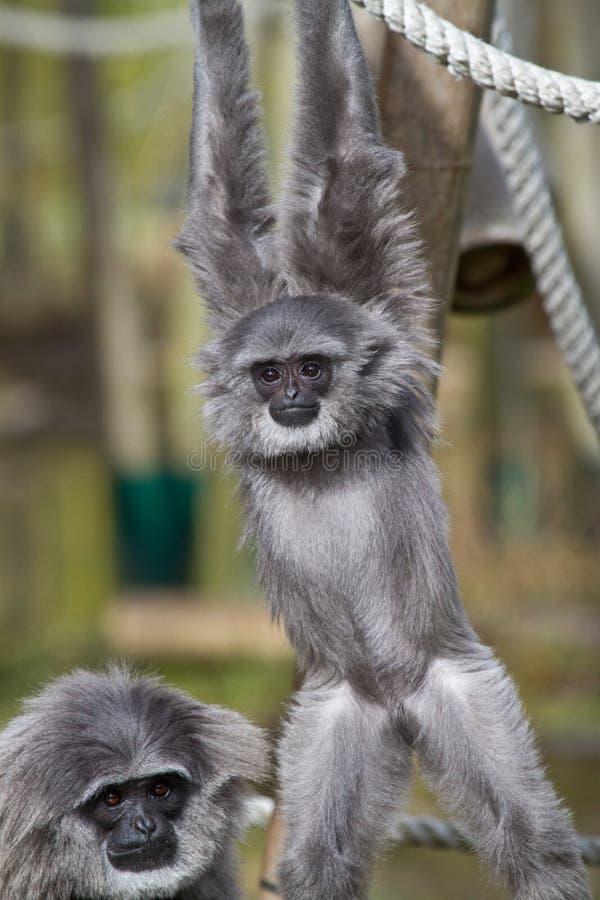 Siamang, syndactylus de Symphalangus est un gibbon noir-poilu arborescent photographie stock libre de droits