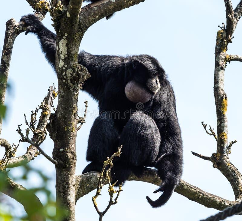 Siamang, syndactylus de Symphalangus est un gibbon noir-poilu arborescent images stock