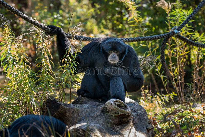 Siamang, syndactylus de Symphalangus est un gibbon noir-poilu arborescent photos libres de droits