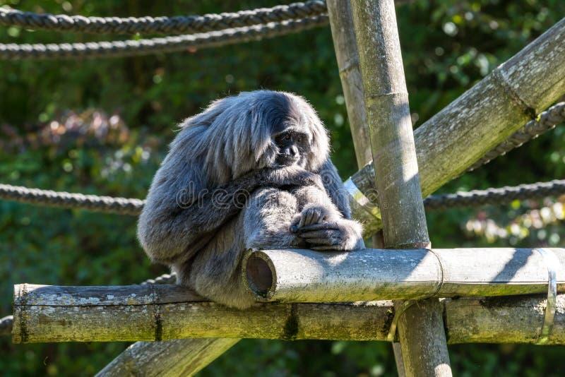 Siamang, syndactylus de Symphalangus est un gibbon noir-poilu arborescent photographie stock