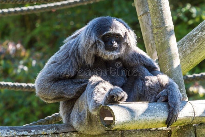 Siamang, syndactylus de Symphalangus est un gibbon noir-poilu arborescent images libres de droits