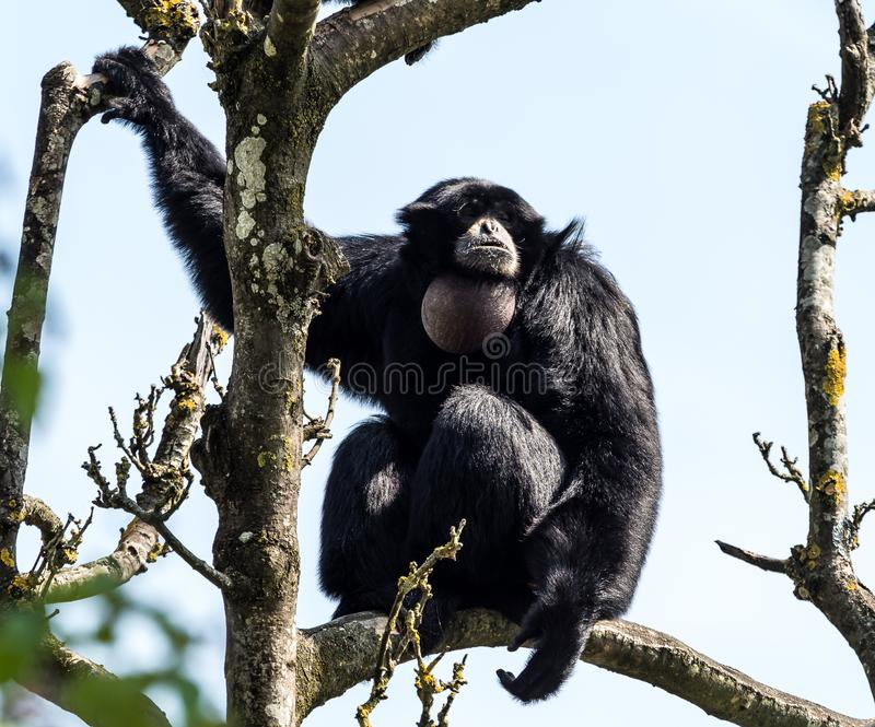 Siamang, syndactylus de Symphalangus est un gibbon noir-poilu arborescent photos stock
