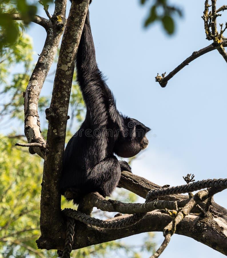 Siamang, syndactylus de Symphalangus est un gibbon noir-poilu arborescent photo stock
