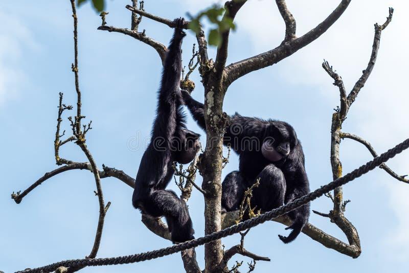Siamang, syndactylus de Symphalangus est un gibbon noir-poilu arborescent image stock