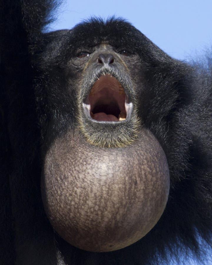 Free Siamang Throat Sac Stock Image - 35984391