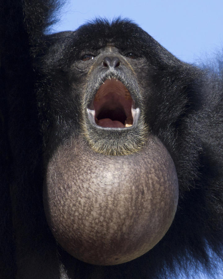 Siamang Throat Sac. A female Siamang with full throat sac to ensure her song can be heard for miles stock image