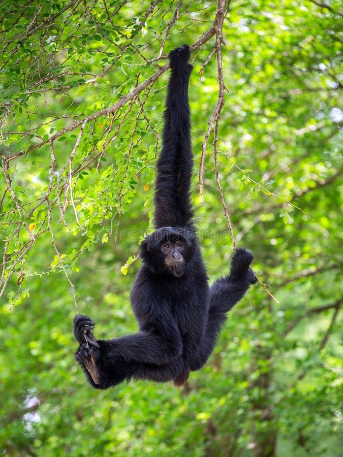 Siamang wiesza na drzewach w naturalnym położeniu fotografia royalty free