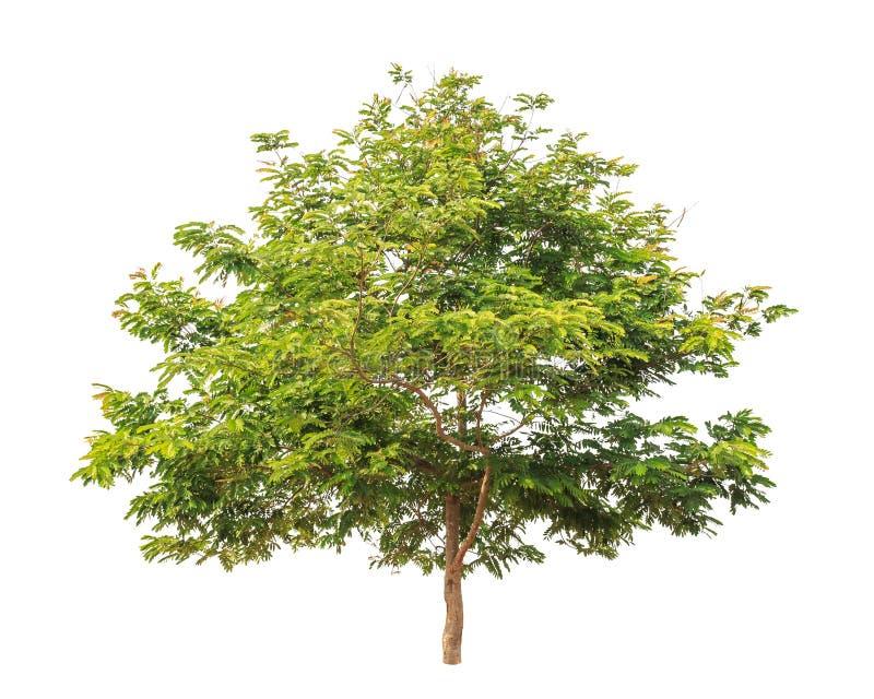 Siamea della senna, albero tropicale isolato su bianco fotografie stock libere da diritti