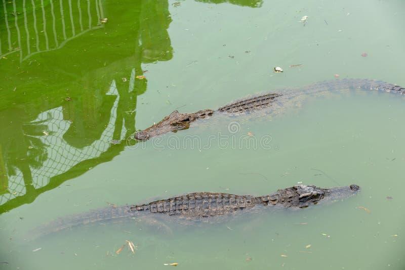 Siamensis del Bucear-cocodrilo-Crocodylus fotografía de archivo