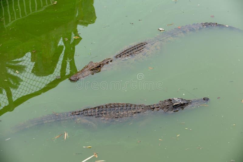 Siamensis del Bucear-cocodrilo-Crocodylus imagenes de archivo